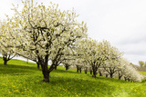 Blossoming Cherry Trees on a Meadow, Spring, Winersingen, Basel Country, Switzerland, Alps Photographic Print by P. Kaczynski