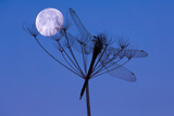 Dragonfly, Plant, Silhouette, Moon Photographic Print by Herbert Kehrer