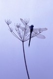 Dragonfly, Plant, [M Photographic Print by Herbert Kehrer
