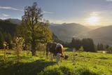 Evening Mood at the KitzbŸheler Horn, Cows, Tyrol, Austria Impressão fotográfica por Rainer Mirau
