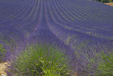 Europe, South of France, Provence, Lavender Field, Period of Bloom Photographic Print by Chris Seba