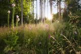Germany, Bavaria, Scenery, Wood, Meadow, Clearing, Back Light, Flowers, Tree, Summer Photographic Print by Stefan Hefele