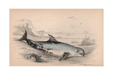 The Globicephalus of Risso Giclee Print by Robert Hamilton