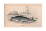 Hyperoodon Giclee Print by Robert Hamilton