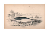 The Delphinapterus of Peron Giclee Print by Robert Hamilton
