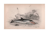 The Common Dolphin Giclee Print by Robert Hamilton