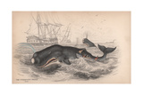 Spermaceti Whale Giclee Print by Robert Hamilton