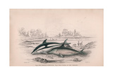 The Striped Porpoise and the Fuenas of the Chilians Giclee Print by Robert Hamilton