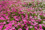 South Africa, Capetown, the Company's Garden, Petunias Photographic Print by Catharina Lux