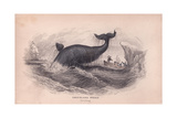 Greenland Whale Giclee Print by Robert Hamilton
