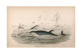Pernettys Dolphin Giclee Print by Robert Hamilton