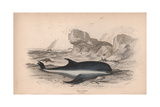 The P Griseus Giclee Print by Robert Hamilton