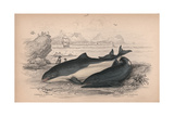 The Common Porpoise and the Cape Porpoise Giclee Print by Robert Hamilton