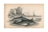The Lead Coloured Dolphin and the Bridled Dolphin Giclee Print by Robert Hamilton