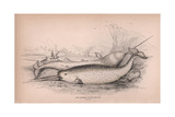The Narwhal or Sea Unicorn Giclee Print by Robert Hamilton