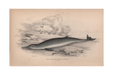 The Toothless Whale of Havre Giclee Print by Robert Hamilton