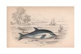 Delphinus Superciliosus Giclee Print by Robert Hamilton