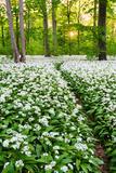 Sun, Wood, Wild Garlic, Wild Flowers, Way, Spring, Leipzig, Germany Reprodukcja zdjęcia autor Dave Derbis