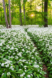 Sun, Wood, Wild Garlic, Wild Flowers, Way, Spring, Leipzig, Germany Photographic Print by Dave Derbis