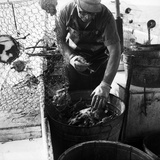 Waterman Transferring Crabs from Crabpot Photographic Print by A. Aubrey Bodine