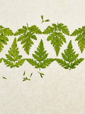 Leaves of the Sweet Cicely, Myrrhis Odorata, Green, Still Life Photographic Print by Axel Killian