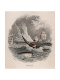 Narwhal Giclee Print by Robert Hamilton