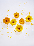 Marigold, Calendula Officinalis, Blossoms, Petals, Orange, Still Life Photographic Print by Axel Killian
