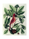 The Red Bird or Northern Cardinal Giclee Print by Mark Catesby