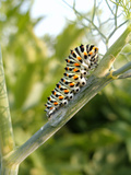 Swallowtail Caterpillar, Dill Photographic Print by Harald Kroiss