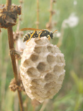 Paper Wasp Building Honeycomb Photographic Print by Harald Kroiss