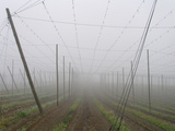Hop Garden in the Hallertau, Autumn, Fog Photographic Print by Harald Kroiss