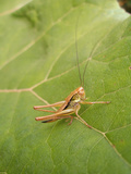 Roesel's Bush-Cricket, Female on Leaf Photographic Print by Harald Kroiss