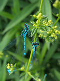 Azure Damselfly, Two, Male, Stalk, Neutral Position Photographic Print by Harald Kroiss