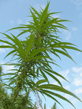 Cannabis Plant, from Below, Blue Sky Photographic Print by Harald Kroiss