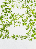 Chickweed, Stellaria Media, Starweed, Leaves, Green Photographic Print by Axel Killian