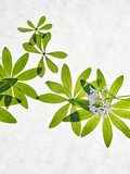 Woodruff, Galium Odoratum, Leaves, Green, Blossom Photographic Print by Axel Killian