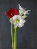 Amaryllis, Flowers, Blossoms, Still Life, Red, White, Black Photographic Print by Axel Killian