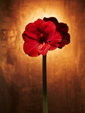 Amaryllis, Flower, Blossom, Still Life, Red Photographic Print by Axel Killian