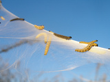 Caterpillars of the Bird-Cherry Ermine, Sky Photographic Print by Harald Kroiss