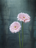 Gerbera, Flowers, Blossoms, Pink, Still Life Photographic Print by Axel Killian