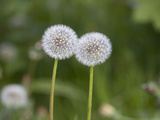 Two Blowballs, Dandelion, Meadow Photographic Print by Andrea Haase
