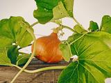 Pumpkin, Hokkaido Pumpkin Photographic Print by Axel Killian