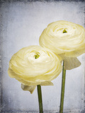 Ranunculus, Flower, Blossoms, White, Still Life Photographic Print by Axel Killian