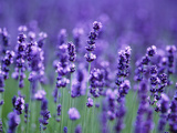 Lavender Field Photographic Print by Herbert Kehrer