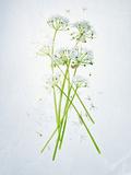 Wild Garlic, Allium Ursinum, Blossom, Green, White, Blossom Photographic Print by Axel Killian