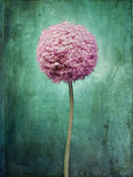 Allium, Flower, Blossom, Still Life, Allium Giganteum, Pink, Turquoise Photographic Print by Axel Killian