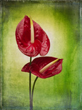 Anthurium, Flower, Blossoms, Still Life, Red, Green Photographic Print by Axel Killian