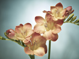 Freesia, Flower, Blossoms, Buds, Still Life, Pink, Yellow, Blue Photographic Print by Axel Killian