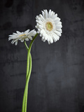 Gerbera, Flowers, Blossoms, White, Still Life Photographic Print by Axel Killian