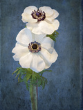 Anemone, Flower, Blossoms, Still Life, White, Blue Photographic Print by Axel Killian